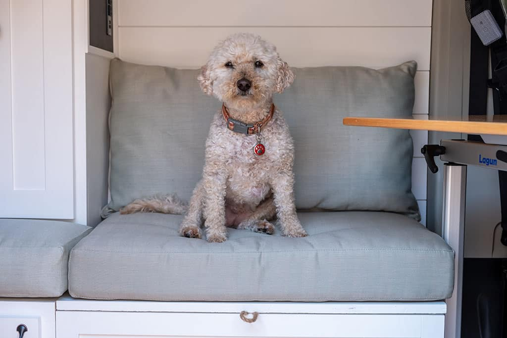 Mini Goldendoodle sitting on dining area bench