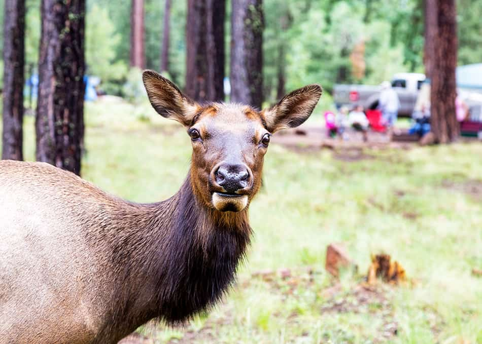 Elk standing in crowded campground